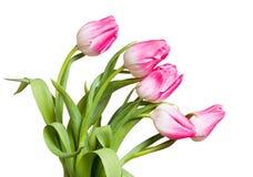 Fiorisce i tulipani Fotografia Stock