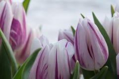 Fiorisce i tulipani Immagine Stock Libera da Diritti