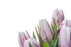 Fiorisce i tulipani Immagine Stock