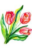 Fiorisce i tulipani dipinti in acquerello Fotografie Stock Libere da Diritti