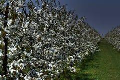 fiorisce il bianco Immagini Stock