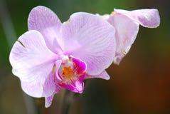 fiorisce il colore rosa dell'orchidea fotografia stock libera da diritti