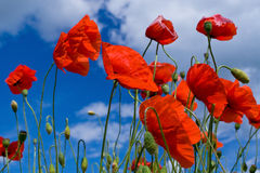 fiorisce il colore rosso del papavero Fotografie Stock Libere da Diritti