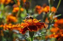 Fiorisce il fondo del tagete dell'ape Fotografia Stock Libera da Diritti