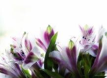 fiorisce il fondo di bianco di alstroemeria del mazzo Immagine Stock Libera da Diritti