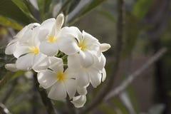 Fiorisce il frangipani Fotografia Stock Libera da Diritti