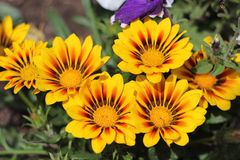 Fiorisce il gazania nell'aiola Un bello modello dei fiori Coltivazione di gazania Fotografie Stock Libere da Diritti