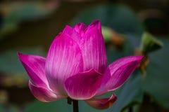 Fiorisce il loto: Nelumbo nucifera Gaertn, Lotus Fotografie Stock Libere da Diritti