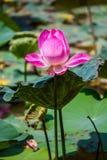 Fiorisce il loto: Nelumbo nucifera Gaertn, Lotus Fotografia Stock Libera da Diritti