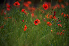 Fiorisce il piano rosso dell'estate di verde del prato della natura di colori di campo dei papaveri Fotografia Stock Libera da Diritti