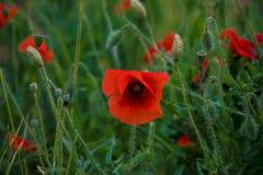 Fiorisce il piano rosso dell'estate di verde del prato della natura di colori di campo dei papaveri Fotografia Stock