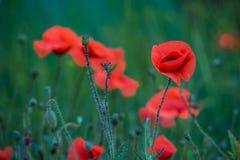 Fiorisce il piano rosso dell'estate di verde del prato della natura di colori di campo dei papaveri Immagine Stock Libera da Diritti