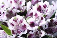 fiorisce il primo piano di alstroemeria del mazzo Fotografia Stock