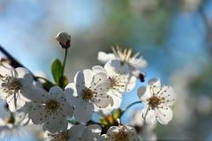 Fiorisce il ramo di albero in primavera Immagini Stock