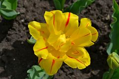 Fiorisce il tulipano Fotografie Stock Libere da Diritti