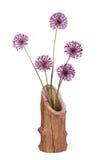 Fiorisce l'allium decorativo porpora della cipolla in vaso di legno Fotografia Stock Libera da Diritti