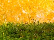 Fiorisce l'autunno dei camomiles Fotografia Stock Libera da Diritti