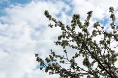 Fiorisce l'mela-albero immagine stock libera da diritti