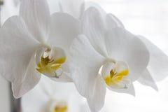 Fiorisce l'orchidea bianca Immagine Stock