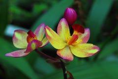 Fiorisce la bellezza della Tailandia Immagini Stock