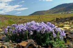 Fiorisce la cianosi (racemosum del Polemonium) della tundra in Chukot Fotografia Stock