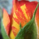 Fiorisce la macrofotografia dal mio giardino Fotografia Stock