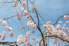 Fiorisce la molla di sakura Fotografie Stock