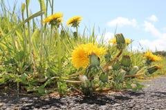Fiorisce la morte del sole delle erbacce della Scozia Fotografia Stock Libera da Diritti