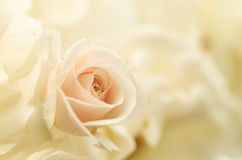 Fiorisce la rosa di rosa del primo piano di arte Fotografia Stock Libera da Diritti