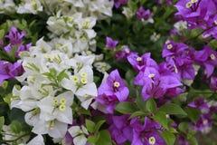 fiorisce la viola bianca Immagini Stock