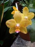 Fiorisce le orchidee Immagini Stock Libere da Diritti
