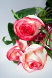 Fiorisce le rose Fotografia Stock Libera da Diritti