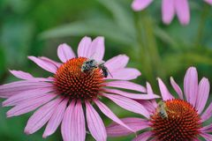Fiorisce un'ape occupata Immagini Stock Libere da Diritti
