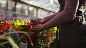 Fiorista femminile in grembiule che esamina e che sistema vaso da fiori con la stella di Natale rossa sullo scaffale Giovane donn archivi video