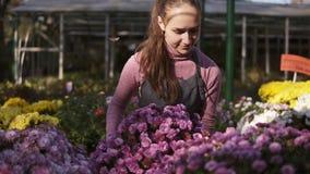 Fiorista femminile sorridente dei giovani in grembiule che esamina e che sistema i vasi da fiori con il crisantemo sullo scaffale video d archivio