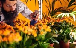 Fiorista maschio professionista con la barba e tatuaggio sulla sua uniforme d'uso della mano che prende cura dei fiori nel negozi Fotografia Stock