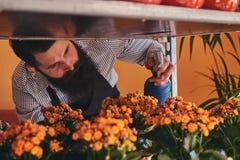 Fiorista maschio professionista con la barba e tatuaggio sulla sua uniforme d'uso della mano che prende cura dei fiori nel negozi Immagine Stock Libera da Diritti