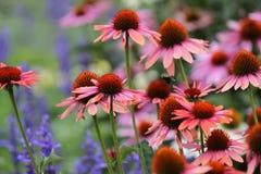 In fioritura Fotografia Stock Libera da Diritti