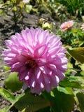 In fioritura Immagini Stock
