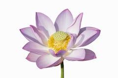 Fioritura affascinante del loto isolata Fotografia Stock