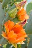 Fioritura arancio dei cactus Fotografia Stock Libera da Diritti