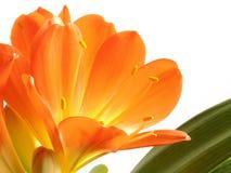 Fioritura arancione Immagini Stock