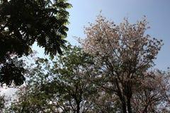 Fioritura arbusto bianco e rosa della tromba immagini stock