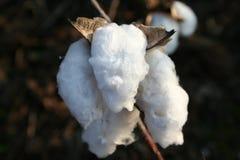 Fioritura bianca del cotone alla raccolta per il raccolto Fotografia Stock