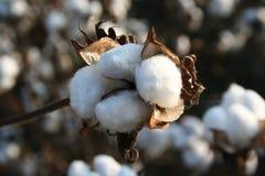 Fioritura bianca del cotone per il selezionamento nella raccolta di autunno Fotografia Stock Libera da Diritti