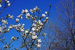 Fioritura bianca della magnolia Fotografie Stock Libere da Diritti