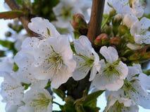 Fioritura bianca della mela Fotografia Stock Libera da Diritti
