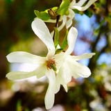Fioritura bianca della molla, dettaglio del fiore Immagine Stock