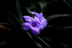 Fioritura blu dei fiori nel giardino fotografie stock libere da diritti