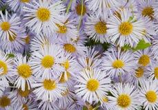 Fioritura Camomilla Campo di fioritura della camomilla fotografie stock libere da diritti